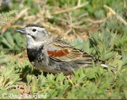 McCowns Longspur